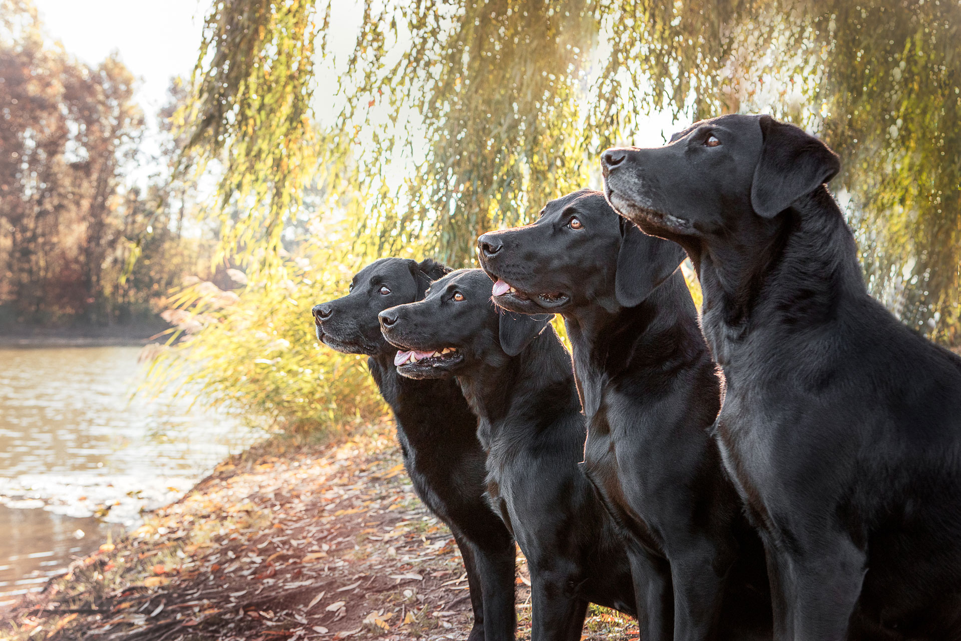 Wikvaya Labradors